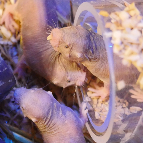 Naked mole rats have arrived at the Tropical Butterfly House thumbnail
