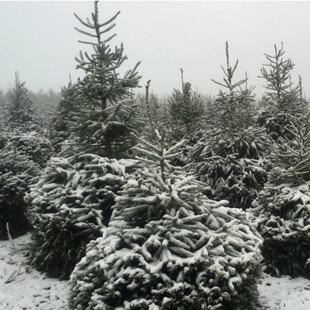 Sheffield Christmas Tree Co to open this week thumbnail